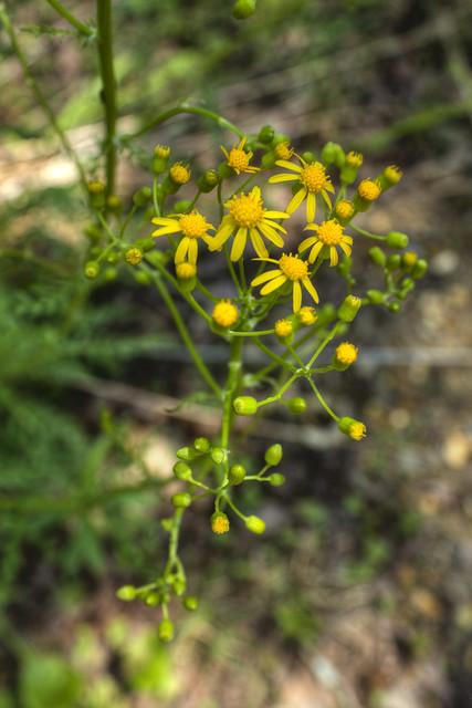 Jacobaea vulgaris 1, Cummins Falls State Park, Jackson Co, TN