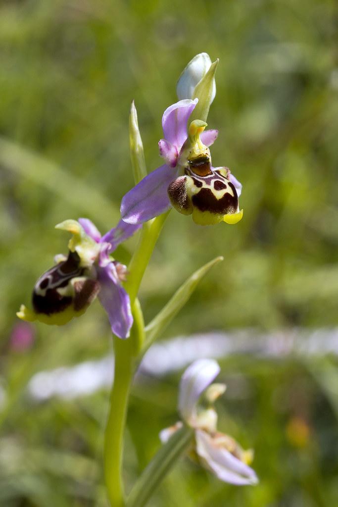 Ophrys santonica
