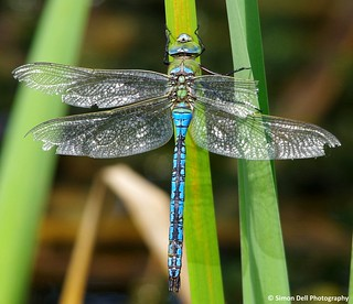 emperor dragonfly (2) | by The Photography of Simon Dell