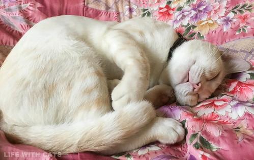 062733170 Cream tabby Japanese cat 薄茶トラ猫