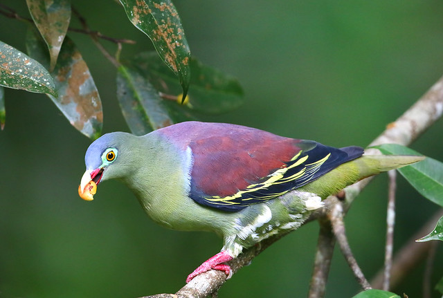 thick-billed green pigeon, male