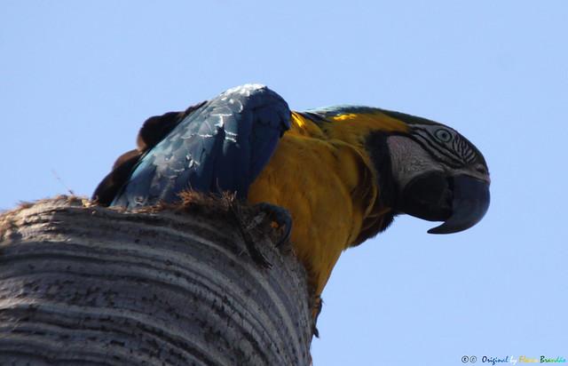 Série com a Arara-canindé, Arara-de-barriga-amarela, Arari, Arara-amarela, Arara-azul-e-amarela, Araraí e Canindé (Ara ararauna) - Series with the Blue-and-yellow Macaw - 31-05-2015 - IMG_3611