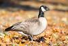 Cackling Goose by rhysmarsh