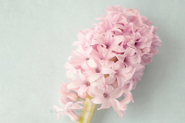 Textured Hyacinth