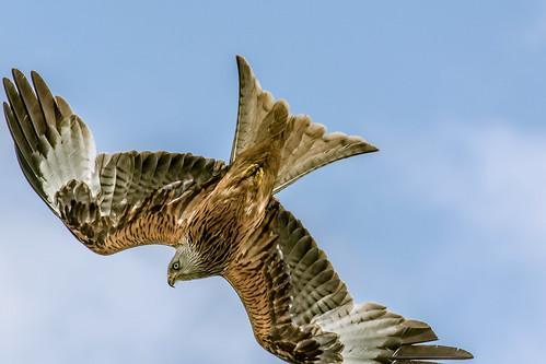 birds raptor birdsofprey redkite harewood rspb birdsofbritain