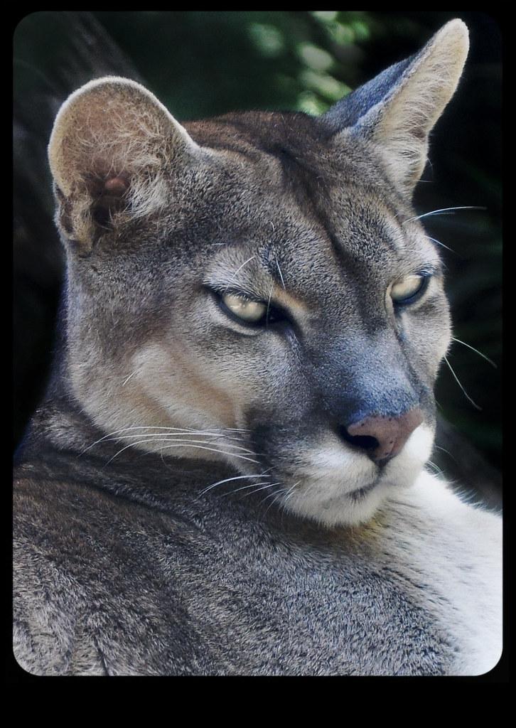 Recuerdo Correctamente diseñador  puma | Zoo de Gramado, Rio Grande do Sul, Brasil. | Luís Condessa | Flickr