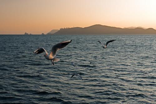 ocean sunset sea building bird silhouette skyline evening haze ship wind gull horizon windy vessel shore busan cape southkorea blacktailedgull laruscrassirostris seaofjapan flyingbird haeundaebeach oryukdo canon40d
