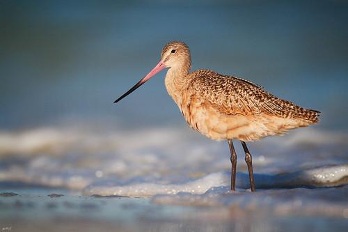 beach nature birds morninglight florida wildlife superior explore marbledgodwit shorebird wader wildbirds godwit explored