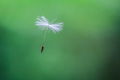 Dandelion | by A. v. Z.