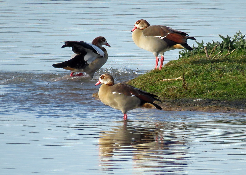 Egyptian Geese - Alopochen aegyptiacus