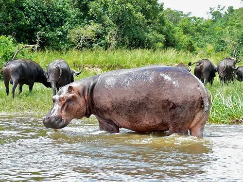 Hippo (Hippopotamus amphibius) | by berniedup
