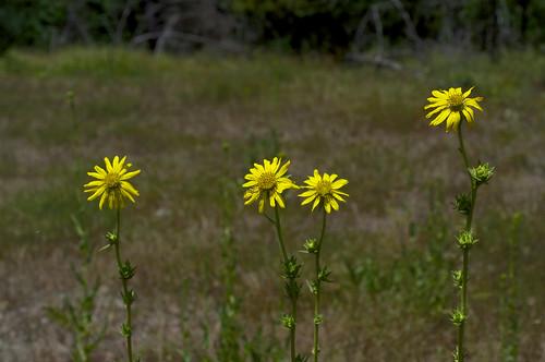 flower yellow asteraceae silphium compassplant rosinweed silphiumlacinatum compassflower