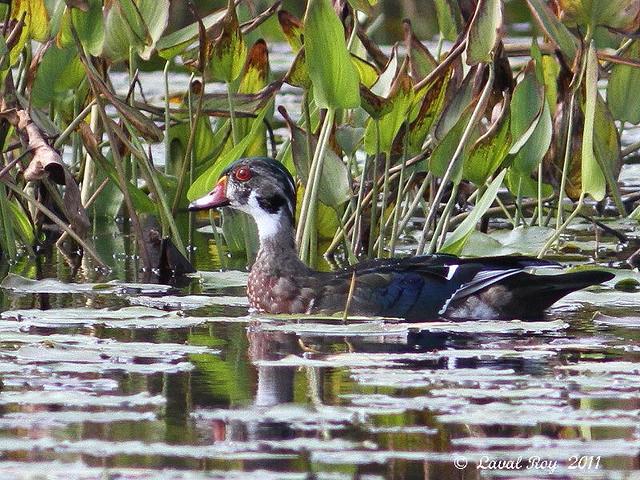 1.00331 Canard branchu / Aix sponsa / Wood Duck