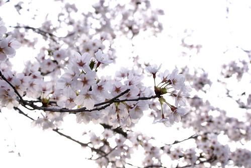 悠久山桜まつり2015