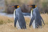 Pingüino Rey by ik_kil