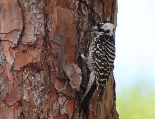bird woodpecker endangeredspecies redcockadedwoodpecker weymouthwoods northcarolinabirds leuconotopicusborealis