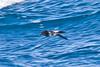 012002.1-IMG_1522 New Zealand Storm-petrel (Fregetta maoriana) by ajmatthehiddenhouse