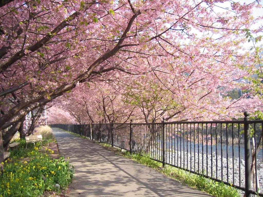 Foto Foto Pemandangan Bunga Sakura Jepang 6