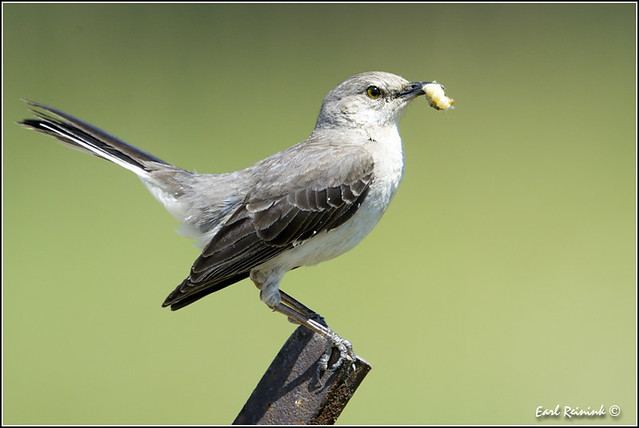 Mockingbird (20120623-0755)