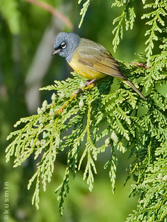 macgillivray's warbler (oporornis tolmiei) | by punkbirdr