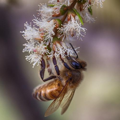flower tree insect tea bee nectar honeybee melaleuca specanimal europeanhoneybee melaleucatree teatreeflower vigilantphotographersunite vpu2 vpu3 vpu4 vpu5 vpu6 vpu7 vpu8 vpu9 vpu10 fatburnsportfolioaustraliasbackyard