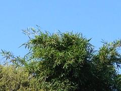 Wamin Bamboo 30'