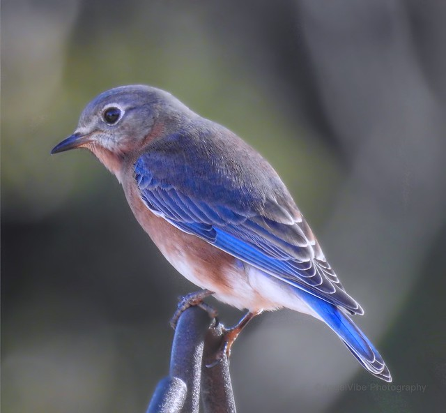 Mr Bluebird Portrait