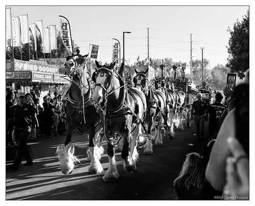 horses clydesdale budweiser beer wagon team fair bige 1876 dog dalmatian mascot anheuserbusch 5millionmark