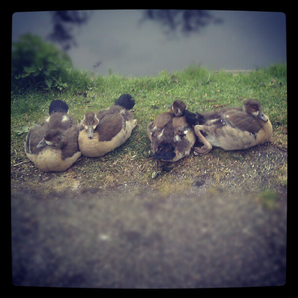 young egyptian geese
