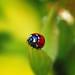 Ladybug by Koisny
