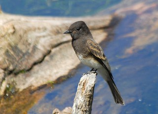 Black Phoebe, immature | by birding4ever