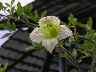 食用蠟燭木 Parmentiera aculeata [檳城熱帶果園 Tropical Fruit Farm, Penang]