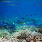 藍色珊瑚礁 (3)