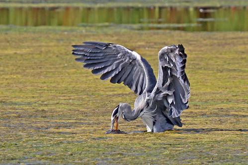 Grey heron (Ardea cineria) with prey