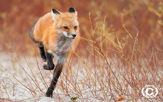 Red fox on the run | by Rob Lonsberry Photography