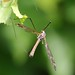 Flickr photo 'Cranefly' by: mgrimm82.