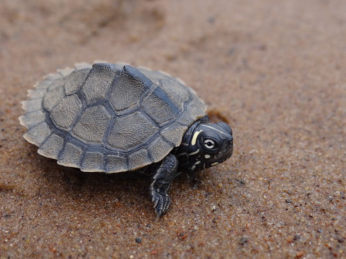 Juvenile Ouchita Map Turtle | by corey.raimond