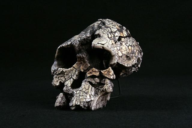 Hominid_Skull-Kenyanthropus_platyops_KNM-WT-40000_004.jpg