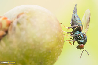 Chalcid Wasp | by Dom Greves