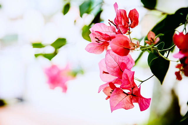 Sigapore街角のブーゲンビリア(Bougainvillea here and there in singapore)