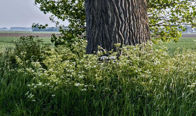 Populier en fluitenkruid in de polder