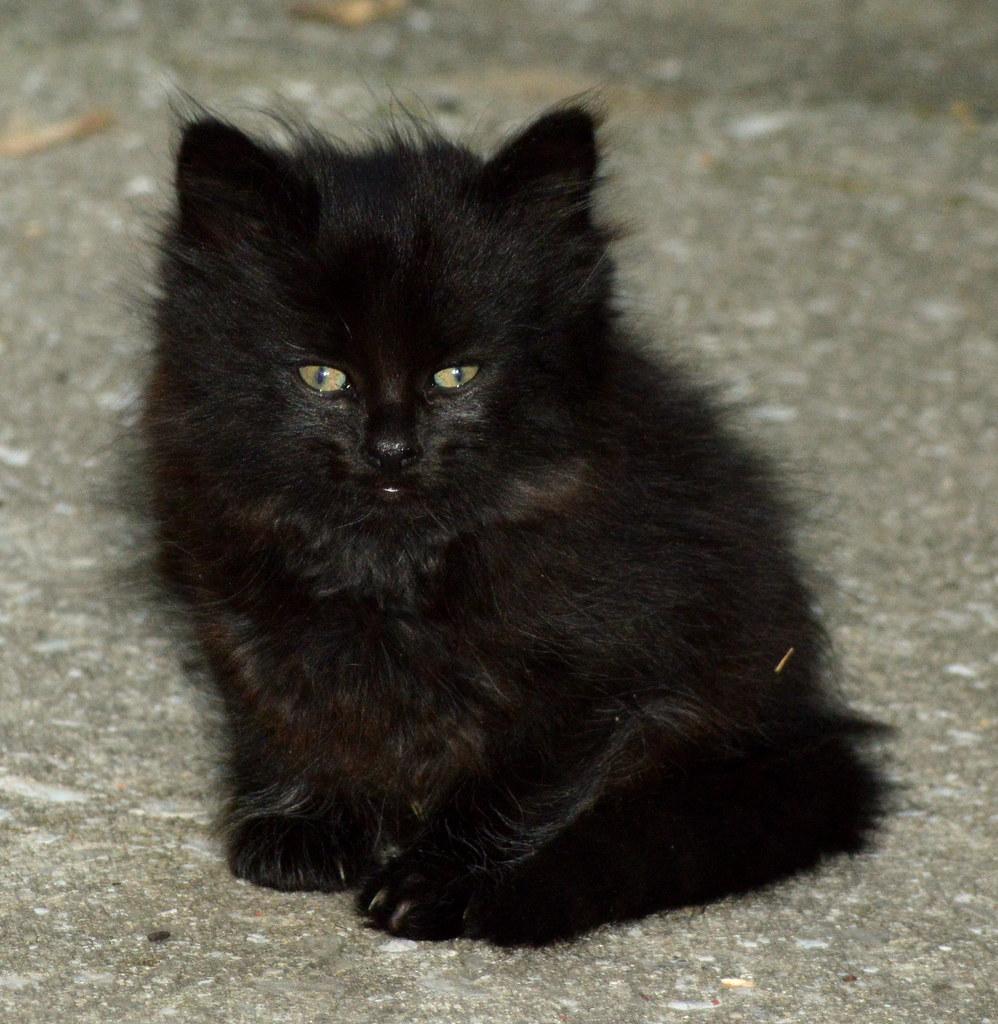 Black Beauty's fluffy, black kitten. | William Morrison ...