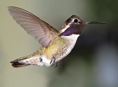 501 -  COSTA'S HUMMINGBIRD (4-17-07) slo co, ca (1) | by Alan Schmierer