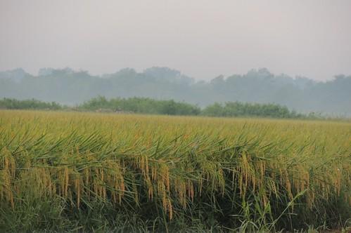 usa texas crop ricefield morningmist