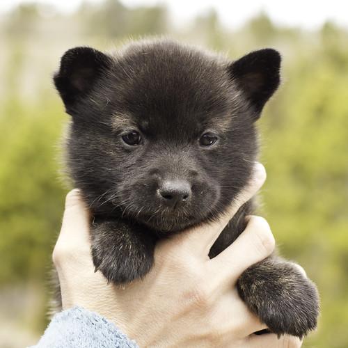 Ayui-Litter4-Day30-Puppy3-Female-a   by brada1878