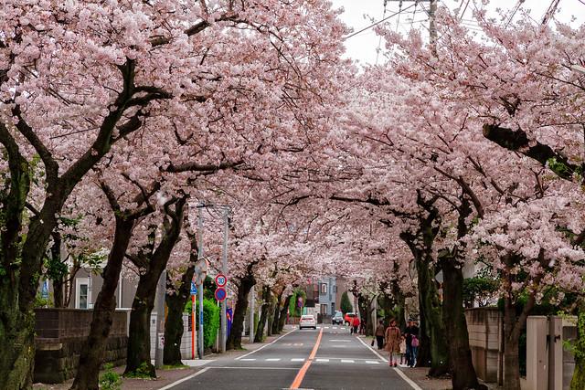 Cherry Blossom Tunnel (Explore 4/23/15)