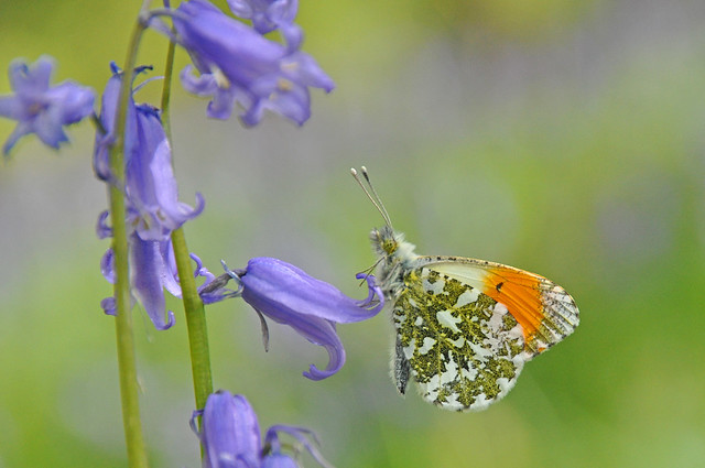 Orange Tip Butterfly on a Bluebell