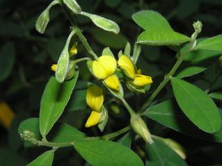 響鈴豆 Crotalaria albida [香港動植物公園 Hong Kong Botanical Garden]