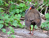 Cleaning time - Okinawa rail by Okinawa Nature Photography