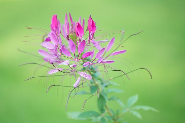 Mackinac Island Lily of the Nile